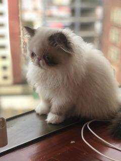 Gato Persa Peque Face Calidad Show Extremo