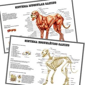 02 Posters 65x100cm Sistema Muscular + Esquelético Dos Cães