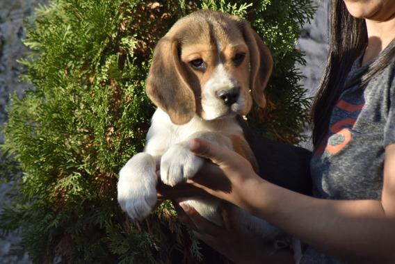 Excelente Cachorro Beagle Tricolor Macho Con Fca. Efectivo!