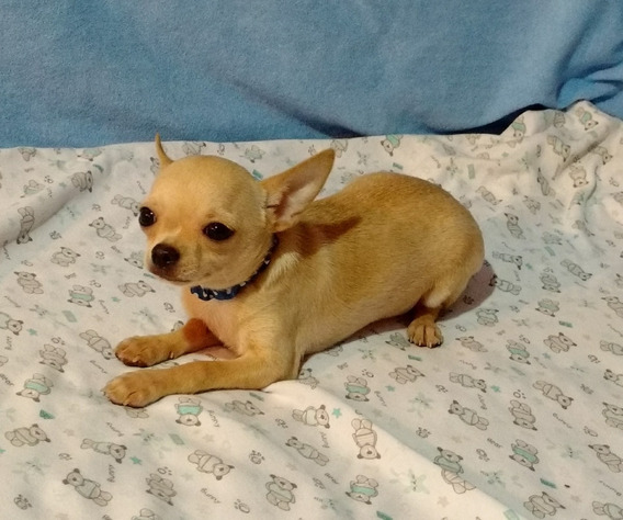 Chihuahua Macho Muy Muy Mini