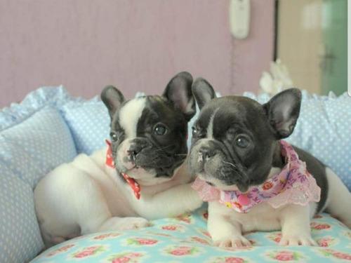 Bulldog Francês - Otima Linhagem ! Tenho Fêmea E Macho.