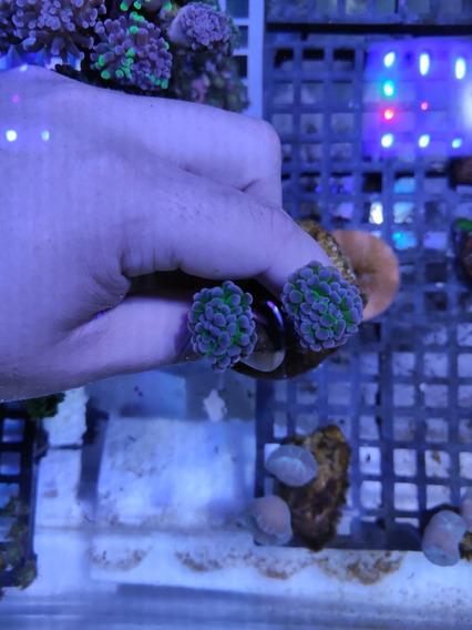 Coral Hammer Solomon 2 Bocas