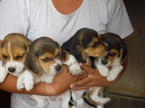 Imagen 1 de 2 de Cachorros Beagles Trato Personal