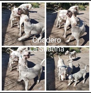 Dogo Argentino Criadero La Shanna