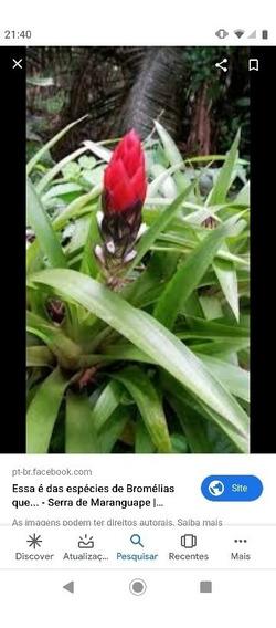 10 Mudas Bromélia Vriesea Com Frete Grátis