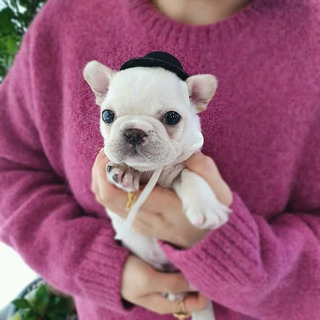 Bulldog Frances Blanco Hermoso Cachorro Frenchie Miniatura