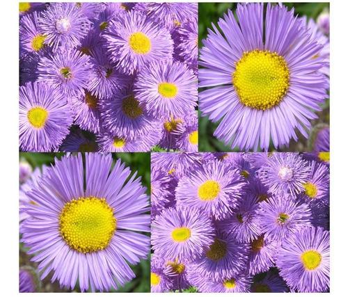 Imagem 1 de 8 de 100 Sementes De Margarida Azul - Fleabane Daisy - Flor