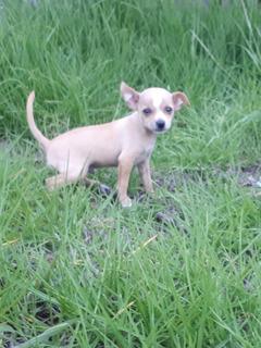 Vendo Hermoso Cachorro Chihuahua Mini De Pedigree