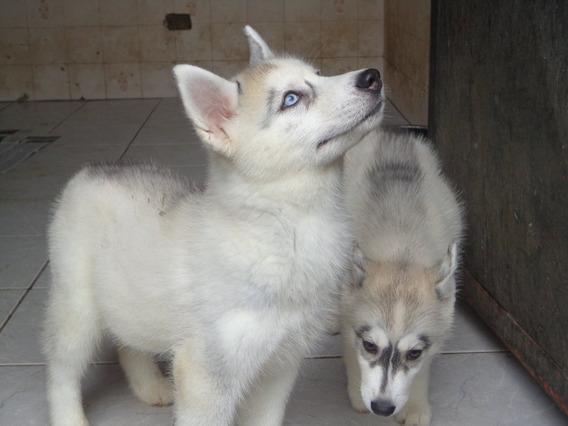 Filhotes De Husky Siberiano Machos E Fêmeas Leia Descrição