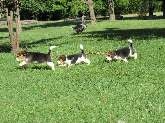 Cachorros Beagle Hermosos