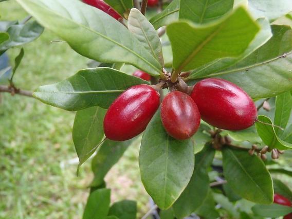 Beta Flores= Muda Da Fruta Do Milagre