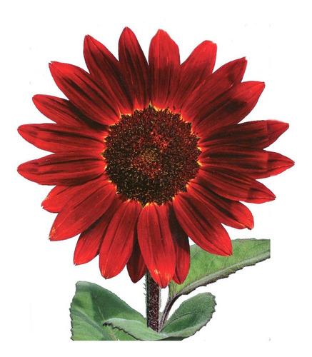 40 Sementes De Girassol Sol Vermelho P/ Vasos E Jardins