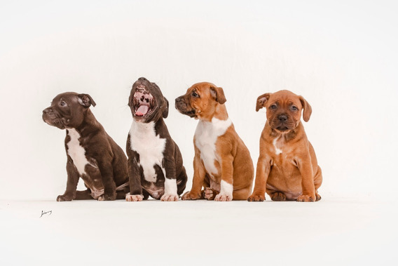Staffordshire Bull Terrier / Staffbull