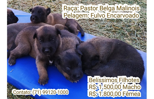 Filhotes De Pastor Belga Malinois