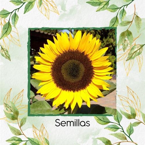 5 Semillas Flor Girasol Domino + Obsequio Germinación