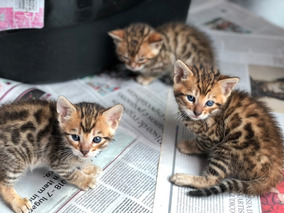 Gatos Bengal Filhotes Machos Castrados Com Pedigree