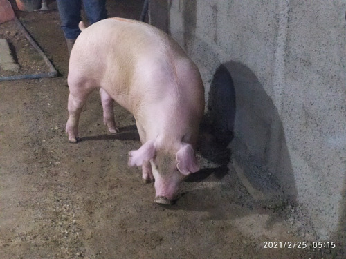 Imagen 1 de 10 de Cerdo En Pie