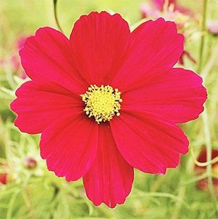 1000 Dazzler Red Cosmos Seeds Largo Periodo De Floracion En