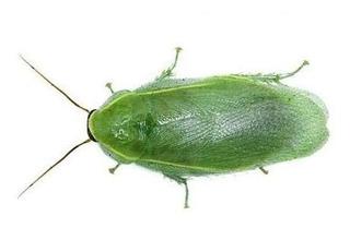 10 Cucarachas Verdes Para Mascota (p. Nivea) Insectos Vivos