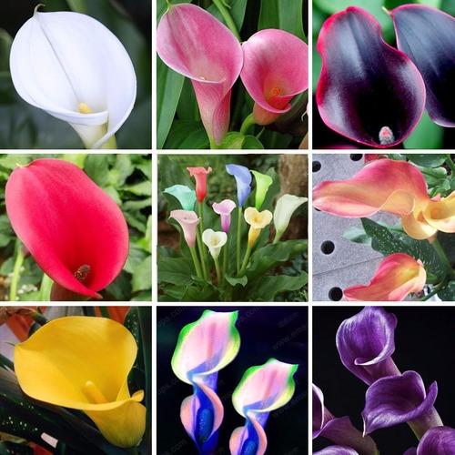 Kit 100 Sementes De Lirio Calla, Colorido, Jardins, Vasos
