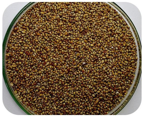 Sementes Milheto Brs 1501 - Caixa Com 3,0 Kg - (72%vc)