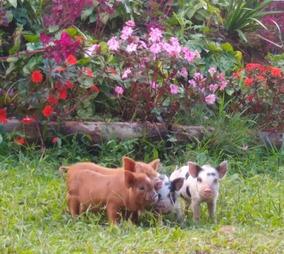 Mini Pig Macho - Excelente Linhagem - Filhotes