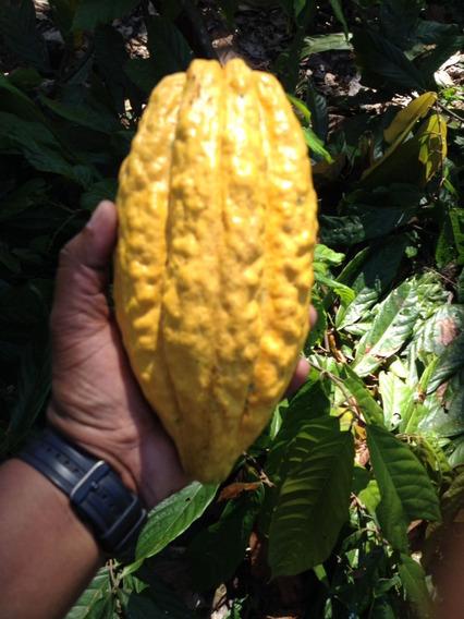 Finca De Cacao 5,500 Tareas