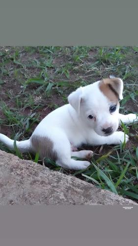 Filhote De Jack Russel Terrier