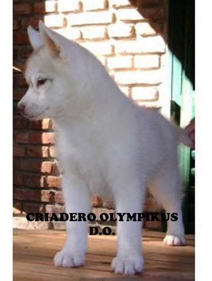 Exelentes Cachorros Siberian Husky Hijos De Campeones Argent