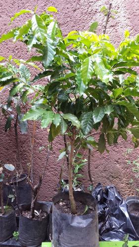 Imagen 1 de 3 de Frutales: Cafeto, Planta De Café (coffea Arabica)
