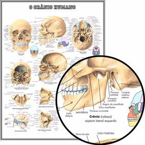 Mapa Do Crânio Humano Hd 65x100cm Medicina Para Fazer Quadro