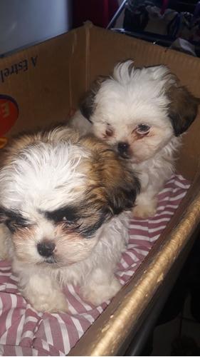 Cachorro Filhotes Lhasa Apso