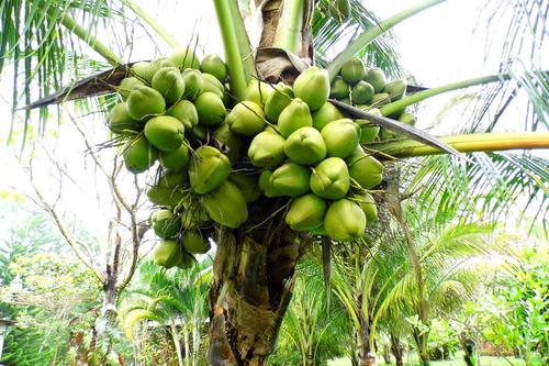 Imagen 1 de 8 de Palmeras De Coco, Enanas Y Criollas Resistentes A Enfermedad