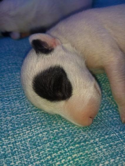 Filhote De Bull Terrier Inglês Com Pedigree Cbkc