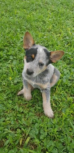 Cachorro Pastor Ganadero Australiano Unicos En Peru Pedigree