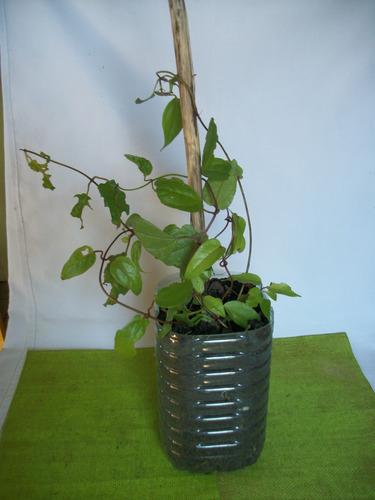 Planta - Guaco (mikania) Medicinal, Trepadora, Impecable