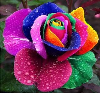 Semillas De Rosas Exoticas Arcoiris 25 Semillas