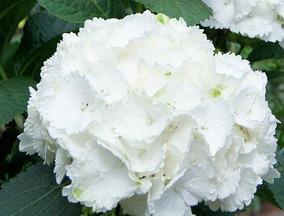 Hortensias Blancas De Venta Distribuidor Nacional