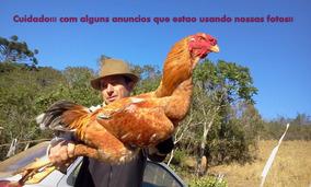 Ovos Galados Índio Gigante ( Nao Sao Aves De Rinha)