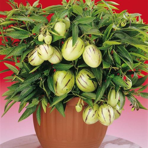 Imagem 1 de 10 de Sementes De Melão Andino Pepino Doce Solanum Muricatum
