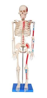 Esqueleto De 85cm Articulado Inserções Musculares Com Base