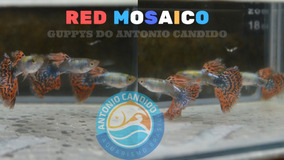 Lebiste Guppy Linhagem Red Mosaico - Casal