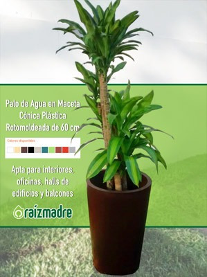 Plantas Para Oficina, Interiores. Palo De Agua + Cono 60cm