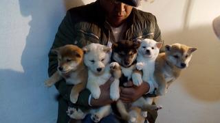 Shiba Inu Cachorros Exelentes Compara Calidad