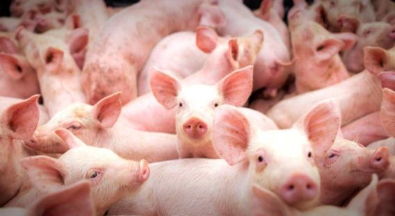 Apostila Suinocultura Aprenda Tudo Sobre A Criação De Porcos