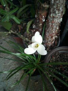 Zephyranthe Insularum: 1 Bulbo