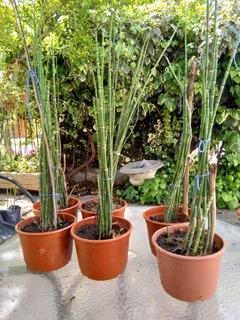 Bambu Equysetum 50 Cm 10 Varas