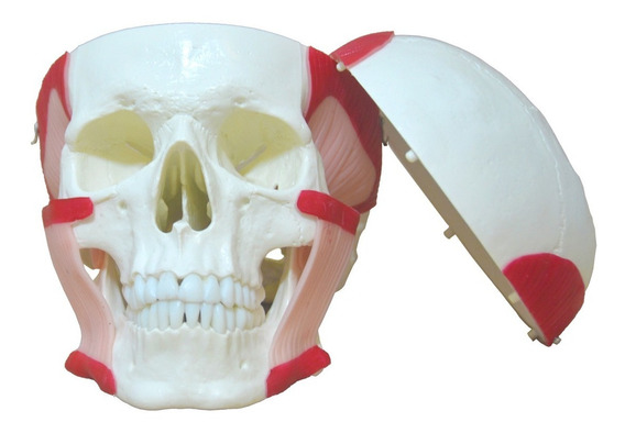 Modelo Anatimo Cranio Com Musculos Da Mastigacao Anatomia
