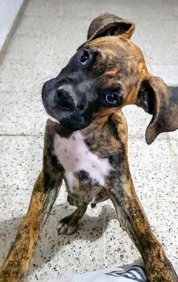 Cachorro Boxer Atigrado 2 Meses Vacunado