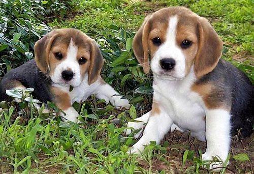 Cachorros Beagle Macho Pequeño Sabueso Ladriditoss